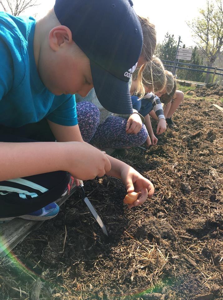 plantering lökar